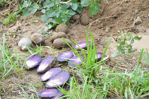 celavita aardappels locatiebezoek nieuwe aardappelsoort samen bourgondisch
